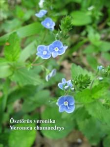 Osztorus veronika 4