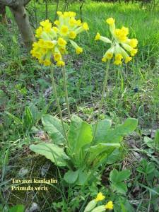 Tavaszi kankalin 2