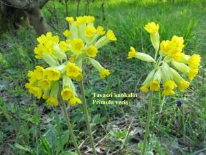 Tavaszi kankalin 3